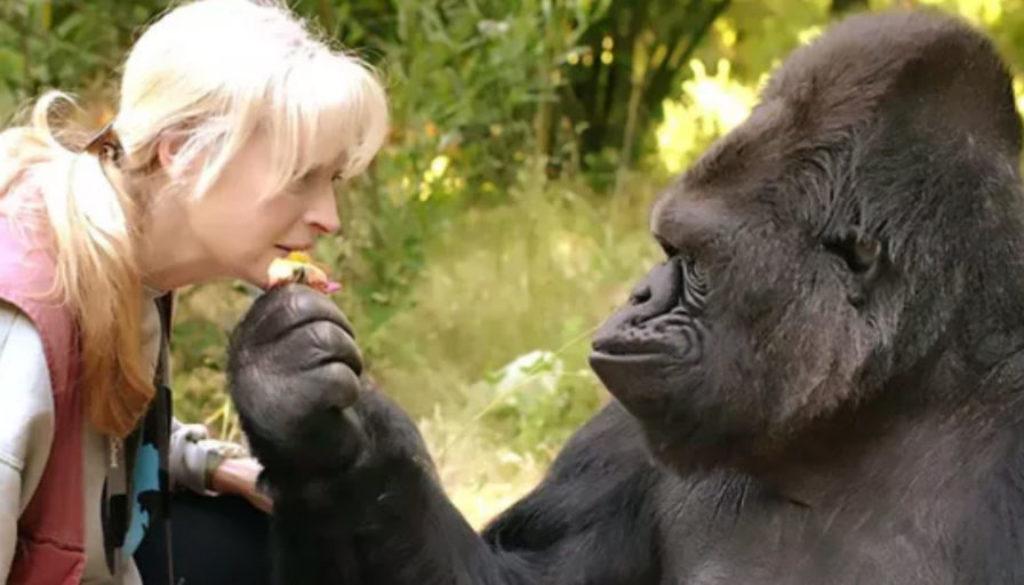 Gare au gorille